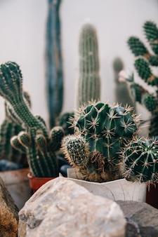 Gran cactus en las macetas. divertido cactus para la decoración del hogar. cactus esponjoso con agujas largas. hermoso objeto interior. cactus entre piedras. cactus en una maceta.