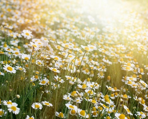 Gran campo con margaritas blancas en flor en un día de primavera, enfoque selectivo