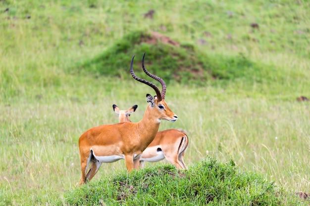 Una gran cantidad de antílopes impala en el paisaje de hierba de la sabana de kenia