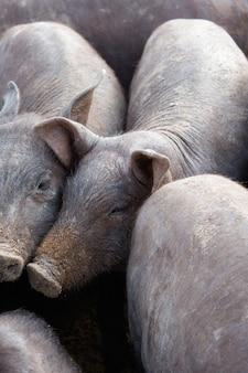 Una gran cantidad de cerdos llenos en una granja
