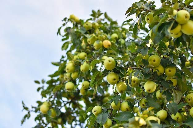 Una gran cantidad de manzanas amarillas y verdes crecen en una rama grande, copia espacio