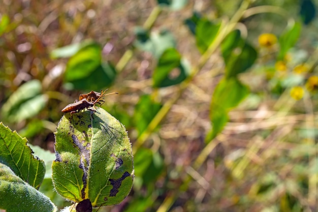 Una gran cantidad de shieldbug comiendo plantas de girasol en el campo