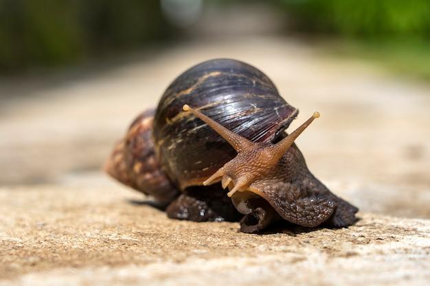 Gran caracol con cáscara arrastrándose en la carretera