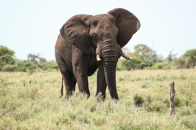 Gran elefante en un campo