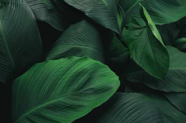 Gran follaje de hojas tropicales con textura de color verde oscuro, fondo abstracto de la naturaleza.