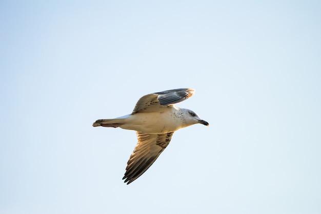 Gran gaviota vuela alto en el cielo