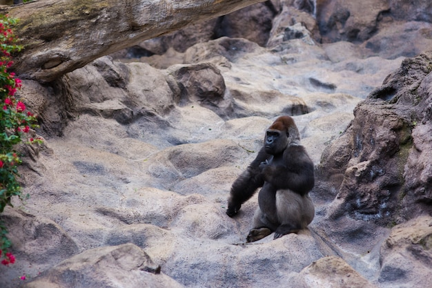Un gran gorila negro se sienta en las rocas. canarias, tenerife.
