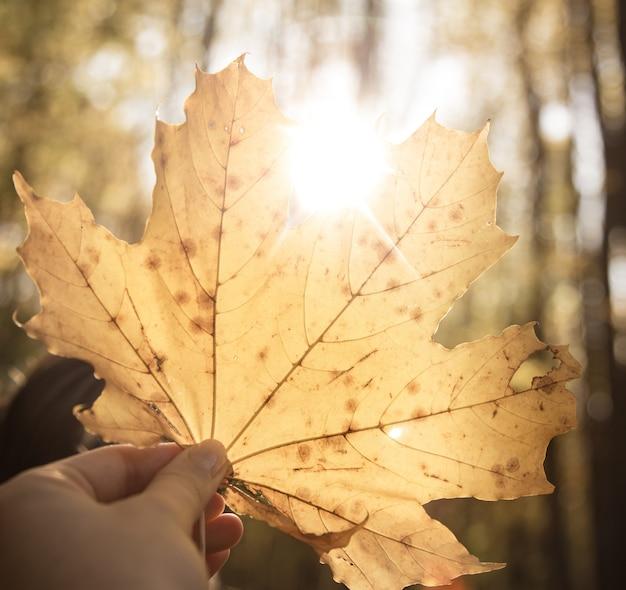 Una gran hoja de otoño amarilla en manos de una mujer.