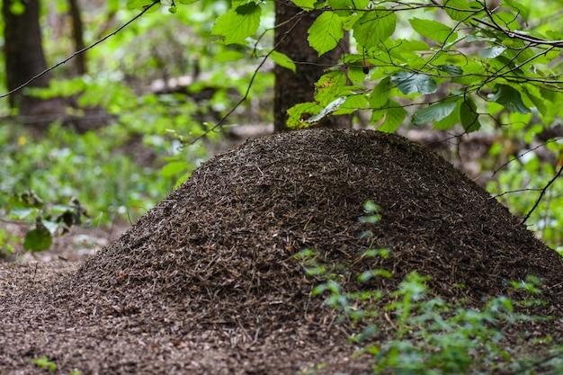Gran hormiguero con hormigas en el bosque bajo las ramas de un árbol.