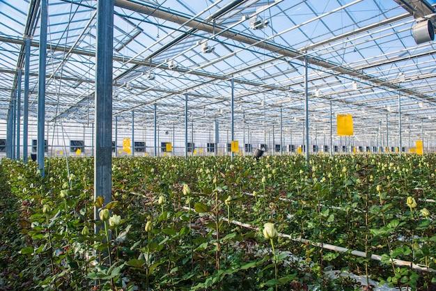 Gran invernadero industrial con rosas holandesas, el plan general