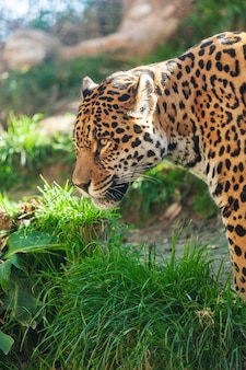 Gran jaguar hermoso en la naturaleza