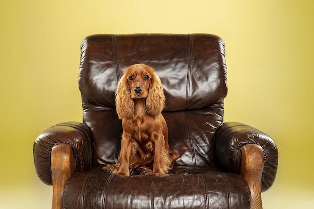 Gran jefe. perro joven cocker spaniel inglés está planteando.