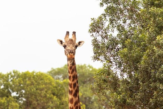 Una gran jirafa por el árbol la cabeza está cerca de kenia maasai mara