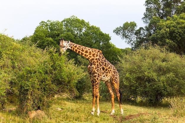 Una gran jirafa come hojas de un árbol alto