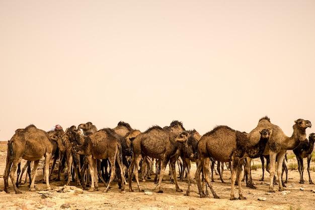 Gran manada de camellos de pie sobre el suelo arenoso de un desierto