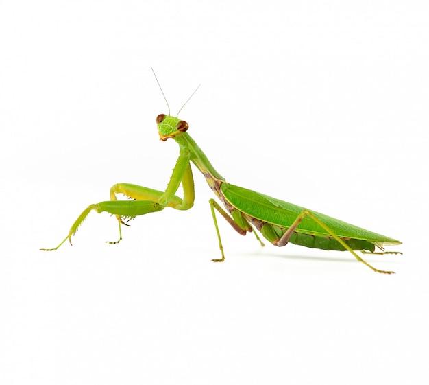 Gran mantis verde sobre blanco