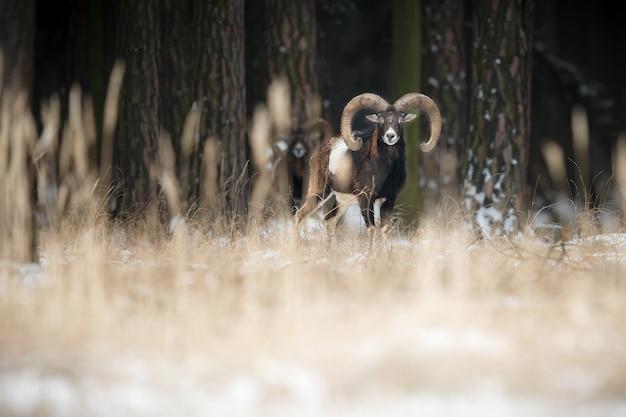 Gran muflón europeo en el bosque animal salvaje en el hábitat natural en la república checa