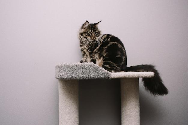 Gran mullido maine coon sentado en árbol de gato