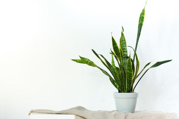 Una gran planta de sansevieria en una maceta de color gris claro se apoya en un tejido natural en una consola blanca frente a la pared de textura blanca