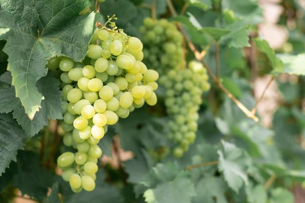 Gran racimo de uvas verdes maduras en una rama en un jardín.