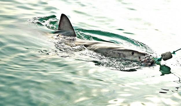 Gran tiburón blanco que rompe la superficie del mar para atrapar el señuelo de carne y sellar señuelo.