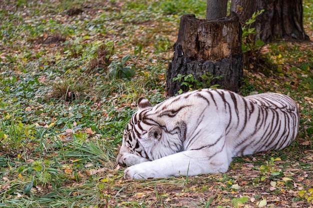 Gran tigre blanco duerme tranquilamente en un hermoso bosque otoñal
