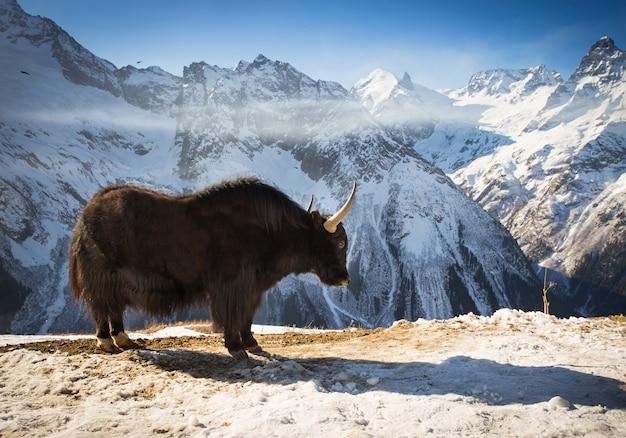 Gran yak en la montaña