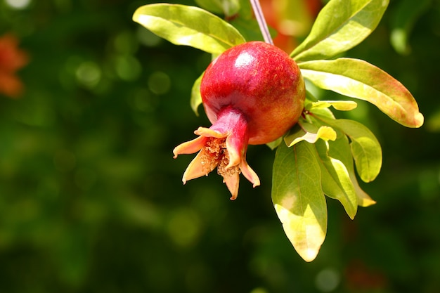 Granada de fruta madura colgando de una rama de árbol con hojas