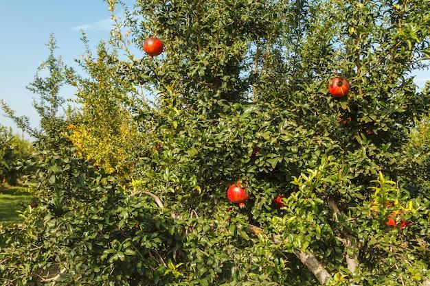 Granada roja madura en un árbol en el salvaje, turquía