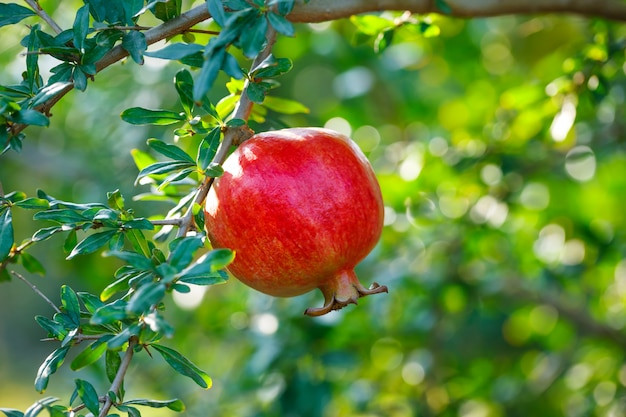 Granadas rojas maduras en el árbol.