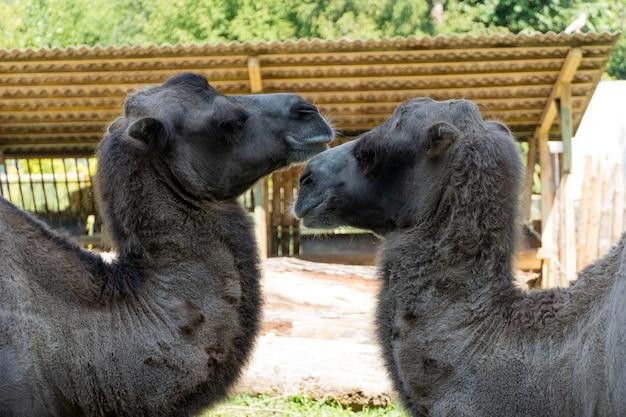 Grandes camellos en el zoológico, la vida silvestre.
