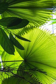 Grandes hojas de palma en forma de abanico.