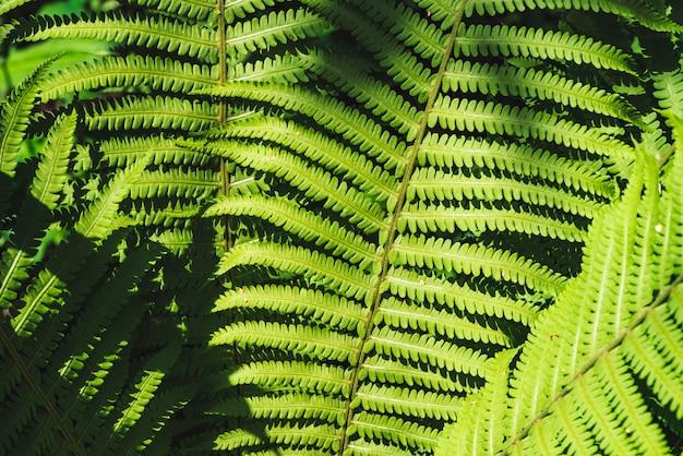 Grandes hojas verdes de primer plano de helecho. detallado de gran follaje con espacio de copia. hoja texturizada de polypodiales.