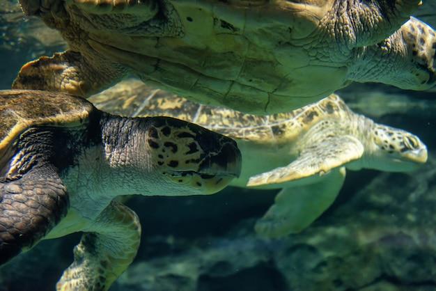 Grandes tortugas marinas nadan bajo el agua