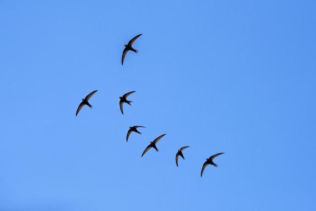 Granero negro traga volando