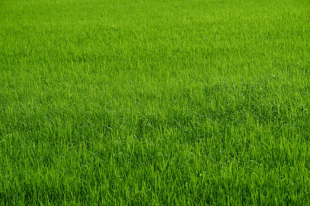 Granja de arroz en temporada de cosecha verde en el campo
