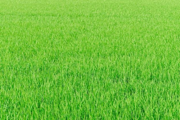 Granja de arroz verde campo de arroz naturaleza textura de fondo