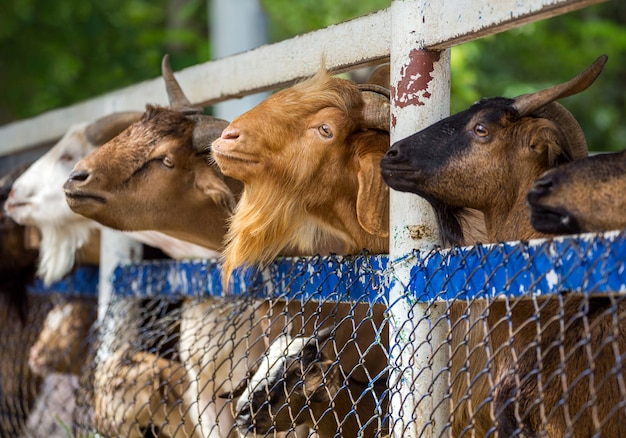 Granja de cabras a la espera de la comida.