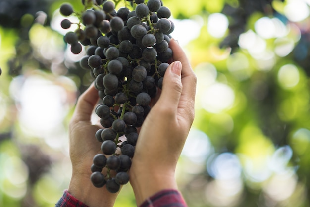 Granja de cosecha de uva