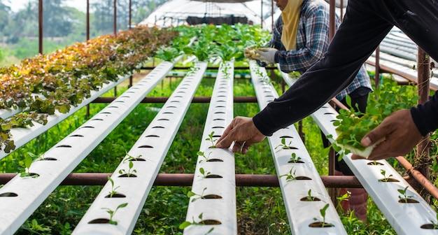 La granja de cultivo de hortalizas hidropónicas orgánicas en zonas rurales.