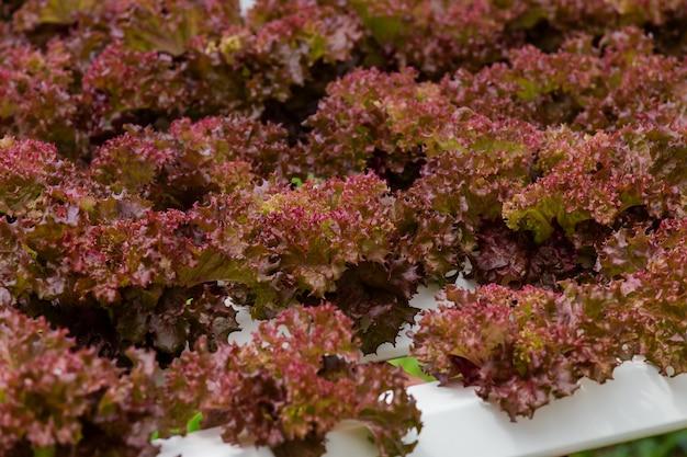Granja ecológica con hortalizas de agricultura hidropónica.