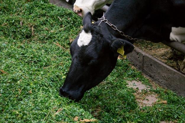 Granja de leche muchas vacas en la granja comen hierba.