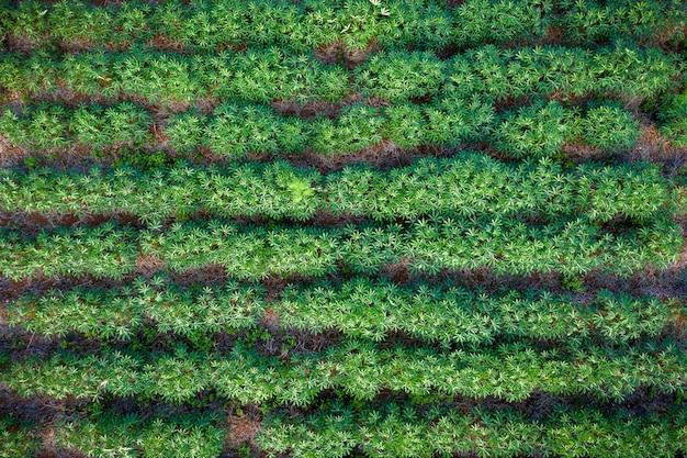 Granja de tapioca en área agrícola en vista aérea de tailandia