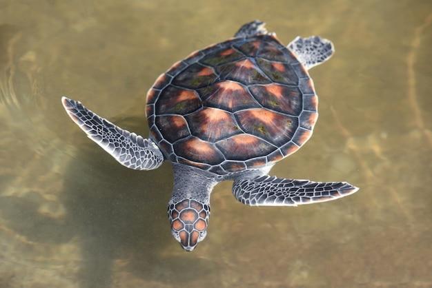 Granja de tortugas verdes y natación en estanque de agua