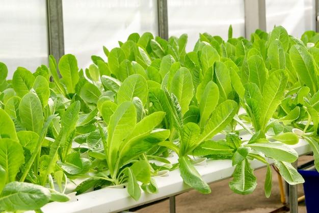 Granja de vegetales hidropónicos orgánicos creciendo en invernadero.