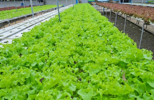 Granja de vegetales hidropónicos en tailandia