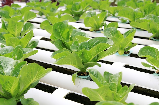 Granja de vegetales hidropónicos.