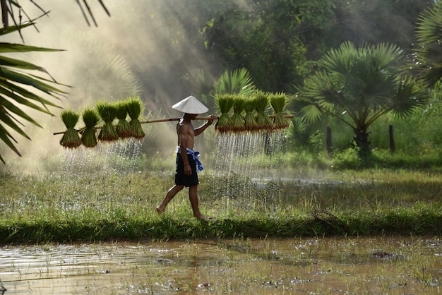 Granjero de asia sosteniendo la planta de arroz en el hombro caminando en el campo de arroz