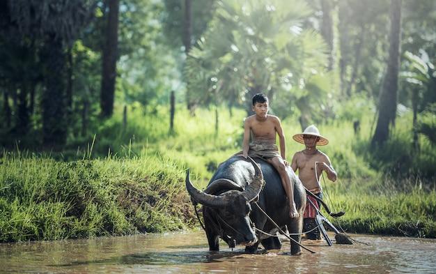 Granjero asiático e hijo trabajando con su búfalo.