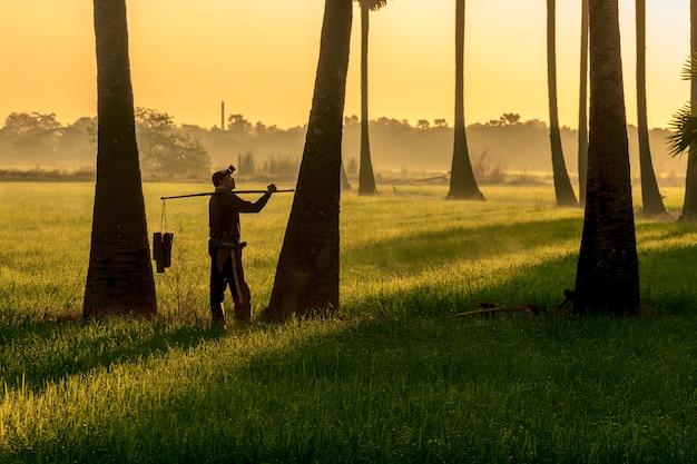 Granjero asiático de indonisia de los hombres que trabaja en el firld del arroz. mantener el azúcar de palma bronceado
